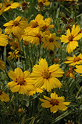 Tequila Sunrise Tickseed (Coreopsis 'Tequila Sunrise') at Plants Unlimited