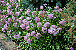 Corkscrew Onion (Allium senescens) at Plants Unlimited