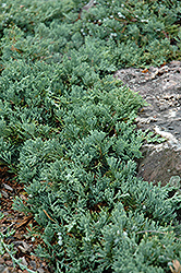 Blue Rug Juniper (Juniperus horizontalis 'Wiltonii') at Plants Unlimited