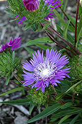 Honeysong Purple Aster (Stokesia laevis 'Honeysong Purple') at Plants Unlimited