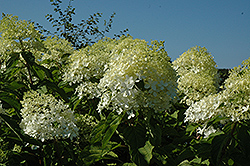 Phantom Hydrangea (Hydrangea paniculata 'Phantom') at Plants Unlimited