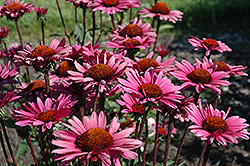 Fatal Attraction Coneflower (Echinacea purpurea 'Fatal Attraction') at Plants Unlimited
