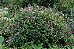 Pink Turtlehead (Chelone obliqua) at Plants Unlimited