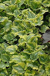Anne Greenaway Spotted Dead Nettle (Lamium maculatum 'Anne Greenaway') at Plants Unlimited