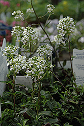 Mountain Wall Cress (Arabis x sturii) at Plants Unlimited
