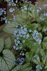 Jack Frost Bugloss (Brunnera macrophylla 'Jack Frost') at Plants Unlimited
