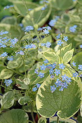 Hadspen Cream Bugloss (Brunnera macrophylla 'Hadspen Cream') at Plants Unlimited