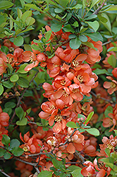 Japanese Flowering Quince (Chaenomeles japonica) at Plants Unlimited
