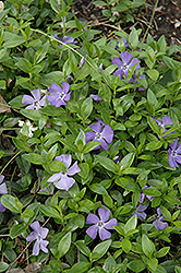 Common Periwinkle (Vinca minor) at Plants Unlimited