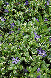 Ralph Shugert Periwinkle (Vinca minor 'Ralph Shugert') at Plants Unlimited