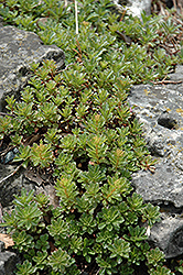 Middendorf Stonecrop (Sedum middendorfianum 'var. diffusum') at Plants Unlimited