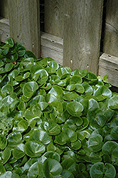 European Wild Ginger (Asarum europaeum) at Plants Unlimited
