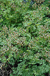 Early Meadow Rue (Thalictrum dioicum) at Plants Unlimited