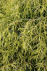 Sungold Falsecypress (Chamaecyparis pisifera 'Sungold') at Plants Unlimited