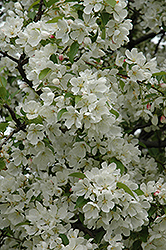 Donald Wyman Flowering Crab (Malus 'Donald Wyman') at Plants Unlimited