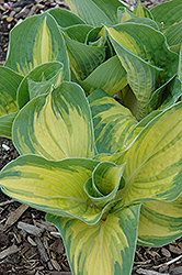 Great Expectations Hosta (Hosta 'Great Expectations') at Plants Unlimited