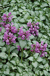 Orchid Frost Spotted Dead Nettle (Lamium maculatum 'Orchid Frost') at Plants Unlimited