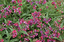 Raspberry Splash Lungwort (Pulmonaria 'Raspberry Splash') at Plants Unlimited
