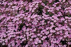 Home Fires Woodland Phlox (Phlox stolonifera 'Home Fires') at Plants Unlimited