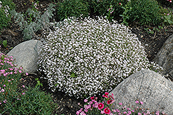 Creeping Baby's Breath (Gypsophila repens) at Plants Unlimited