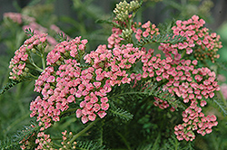 Gloria Jean Yarrow (Achillea millefolium 'Gloria Jean') at Plants Unlimited