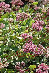 October Daphne (Sedum sieboldii) at Plants Unlimited