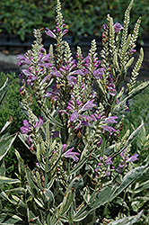 Variegated Obedient Plant (Physostegia virginiana 'Variegata') at Plants Unlimited