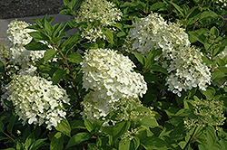 Little Lamb Hydrangea (Hydrangea paniculata 'Little Lamb') at Plants Unlimited