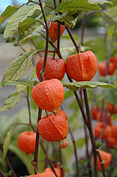 Chinese Lantern (Physalis franchetii) at Plants Unlimited