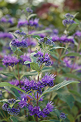 Dark Knight Caryopteris (Caryopteris x clandonensis 'Dark Knight') at Plants Unlimited