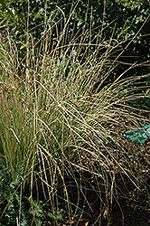 Blue Arrows Rush (Juncus inflexus 'Blue Arrows') at Plants Unlimited