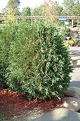 Techny Globe Arborvitae (Thuja occidentalis 'Techny Globe') at Plants Unlimited