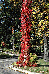 Virginia Creeper (Parthenocissus quinquefolia) at Plants Unlimited