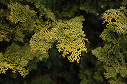 Slender Hinoki Falsecypress (Chamaecyparis obtusa 'Gracilis') at Plants Unlimited
