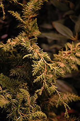 Fernspray Gold Falsecypress (Chamaecyparis obtusa 'Fernspray Gold') at Plants Unlimited
