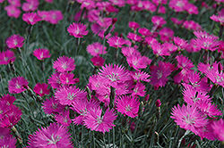 Firewitch Pinks (Dianthus gratianopolitanus 'Firewitch') at Plants Unlimited
