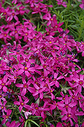 Purple Moss Phlox (Phlox subulata 'Atropurpurea') at Plants Unlimited