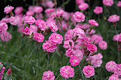 Tiny Rubies Dwarf Mat Pinks (Dianthus gratianopolitanus 'Tiny Rubies') at Plants Unlimited