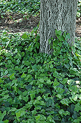Baltic Ivy (Hedera helix 'Baltica') at Plants Unlimited