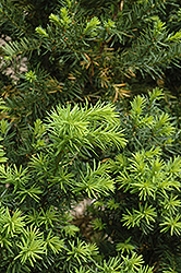 Hicks Yew (Taxus x media 'Hicksii') at Plants Unlimited