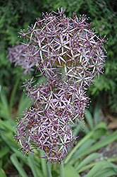 Star Of Persia Onion (Allium christophii) at Plants Unlimited