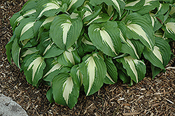 Night Before Christmas Hosta (Hosta 'Night Before Christmas') at Plants Unlimited