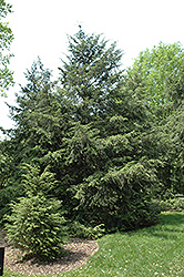 Canadian Hemlock (Tsuga canadensis) at Plants Unlimited