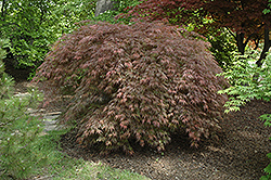 Inaba Shidare Cutleaf Japanese Maple (Acer palmatum 'Inaba Shidare') at Plants Unlimited