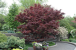 Bloodgood Japanese Maple (Acer palmatum 'Bloodgood') at Plants Unlimited
