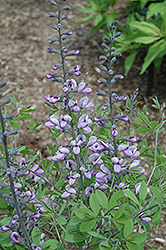 Purple Smoke False Indigo (Baptisia 'Purple Smoke') at Plants Unlimited