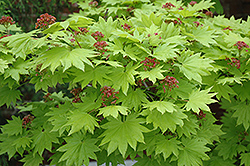 Golden Full Moon Maple (Acer shirasawanum 'Aureum') at Plants Unlimited