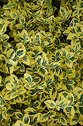 Emerald 'n' Gold Wintercreeper (Euonymus fortunei 'Emerald 'n' Gold') at Plants Unlimited