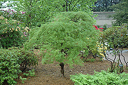 Cutleaf Japanese Maple (Acer palmatum 'Dissectum') at Plants Unlimited