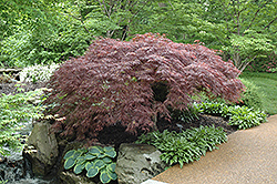 Red Select Japanese Maple (Acer palmatum 'Red Select') at Plants Unlimited